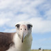 Aly the Albatross - Midway Atoll by Kris Krug