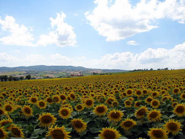 Umbrian Sunflowers