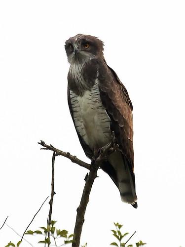 Beaudouins snake eagle - photo#28
