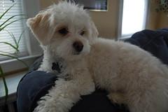 toy poodle(1.0), miniature poodle(1.0), bichon frisã©(1.0), dog breed(1.0), animal(1.0), puppy(1.0), dog(1.0), cavachon(1.0), schnoodle(1.0), pet(1.0), lagotto romagnolo(1.0), coton de tulear(1.0), bolonka(1.0), poodle crossbreed(1.0), havanese(1.0), bichon(1.0), dandie dinmont terrier(1.0), cockapoo(1.0), goldendoodle(1.0), maltese(1.0), cavapoo(1.0), bolognese(1.0), carnivoran(1.0),