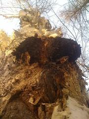 Chaga mushrooms 2011