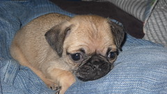 dog breed(1.0), animal(1.0), puppy(1.0), dog(1.0), puggle(1.0), pet(1.0), carnivoran(1.0), pug(1.0),