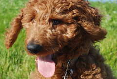 miniature poodle, dog breed, animal, dog, schnoodle, pet, lagotto romagnolo, poodle crossbreed, cockapoo, goldendoodle, cavapoo, barbet, american water spaniel, carnivoran,