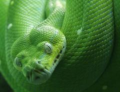Green Tree Python: Head