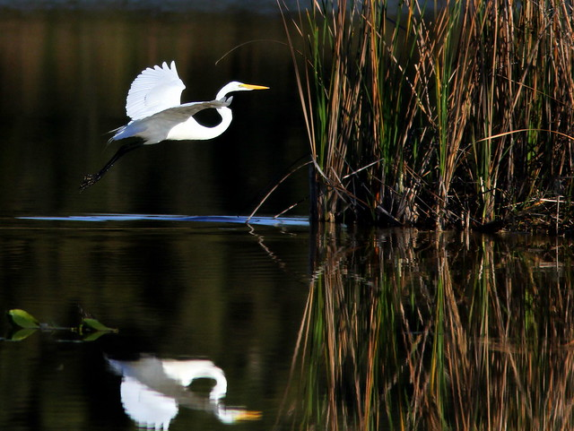 Great Egret reflection 20110218