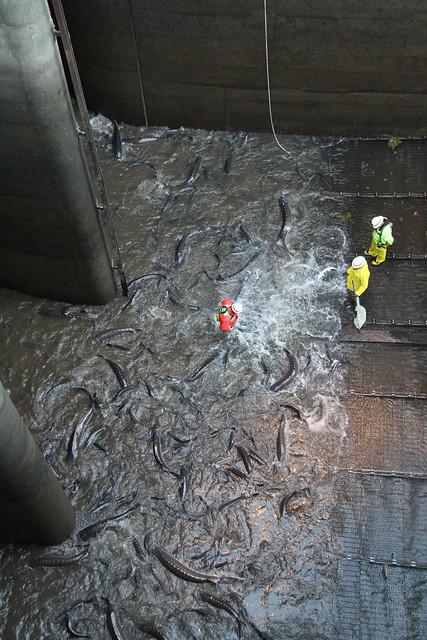Bonneville dam sturgeon removal img 3042 flickr photo for Bonneville dam fish camera