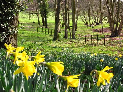 Daffodils in Hampstead Heath