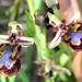Mirror Orchid (Peter Dunn)