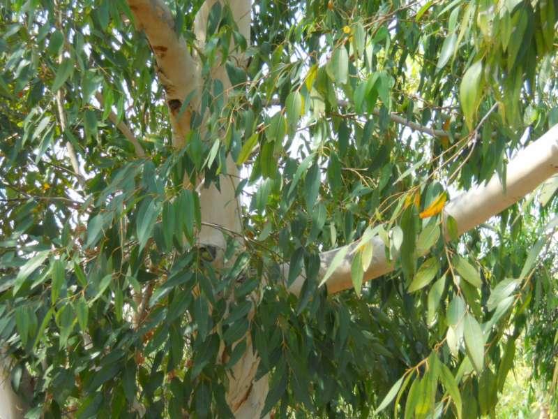Eucalyptus diversicolor 1