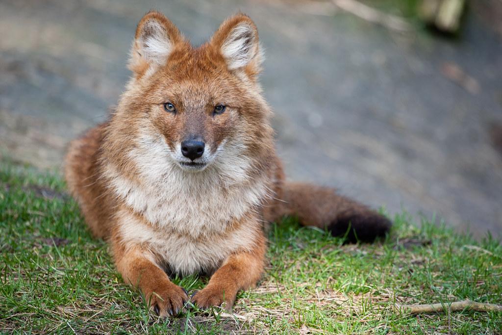 фото волка красного