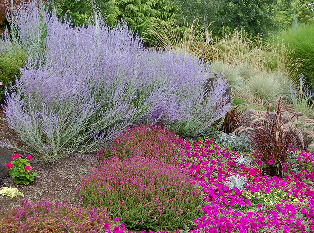 Landscaping With Russian Sage Russian Sage in full b...