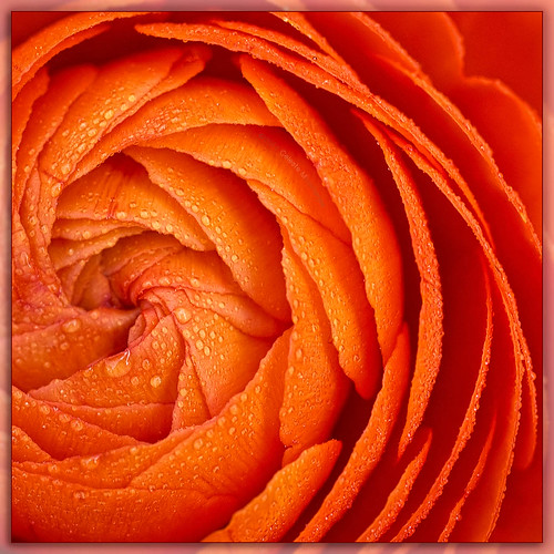 orange flora ranunculus drop droplet doublefantasy petaledge exquisiteflowers itsallaboutflowers contest112uf