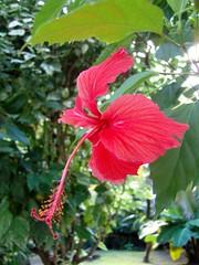Fleur d'hibiscus à la villa cannelle