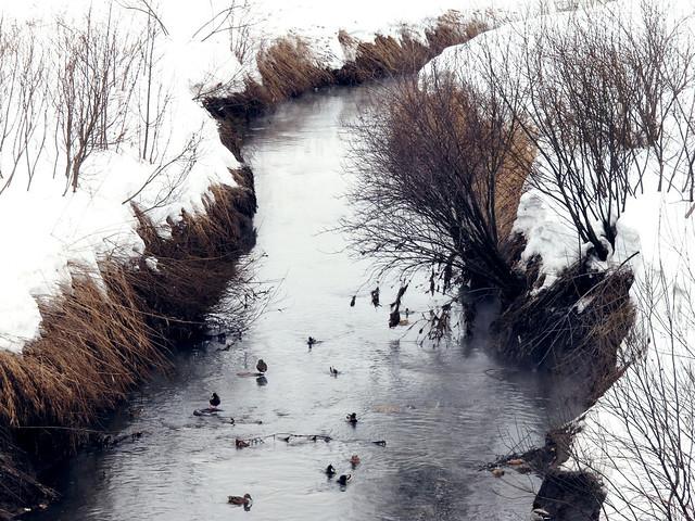 (71/365) Ducks