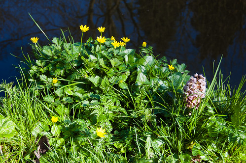 Celandines and butterbur