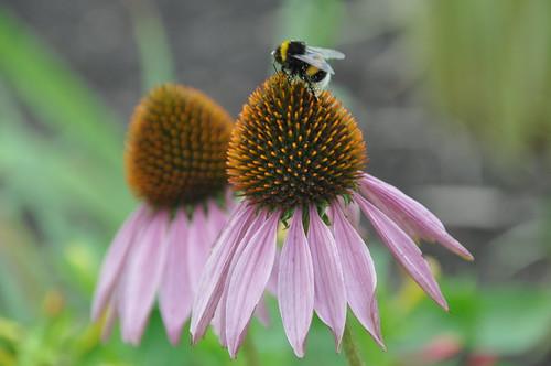 Echinacea purpurea 08/10