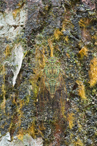cicada camouflage IMG_9913 copy