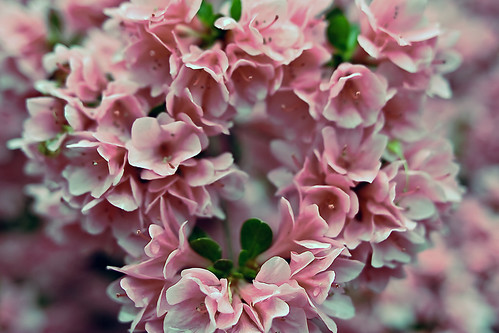 Azalea pink heart valentine flowers - flckr - ForestGladesiWander