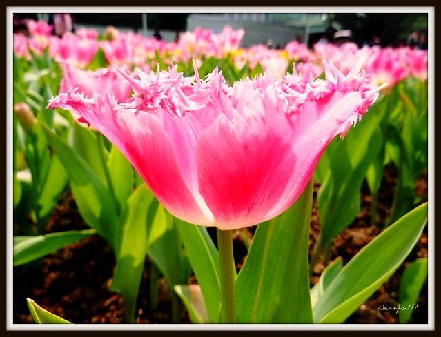 Photo:Common Garden Tulipa-- 鬱金香01 By jennyhsu47