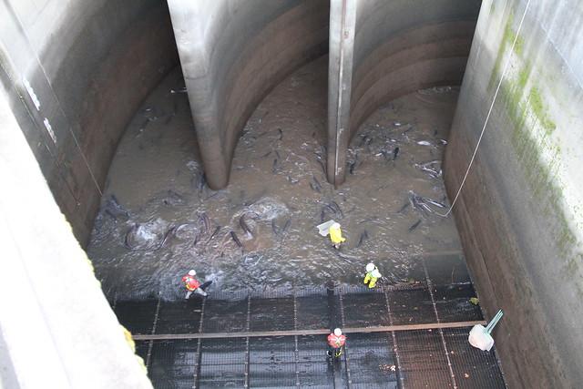 bonneville dam sturgeon removal img 3045 bonneville dam