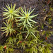 Polytrichum juniperinum - Photo (c) John Dalrymple, some rights reserved (CC BY-NC-ND)