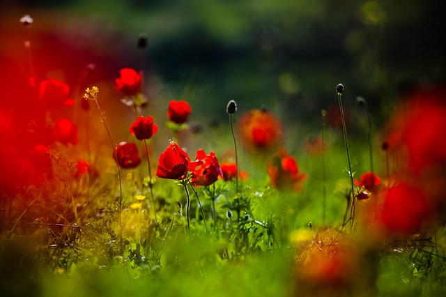 still love poppies