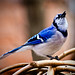 A Singing Blue Jay.