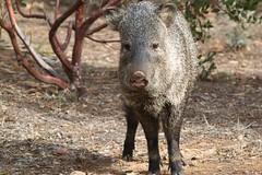 animal, peccary, wild boar, domestic pig, pig, fauna, pig-like mammal, wildlife,