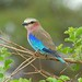 Lilac-breasted Roller (David Mercer)