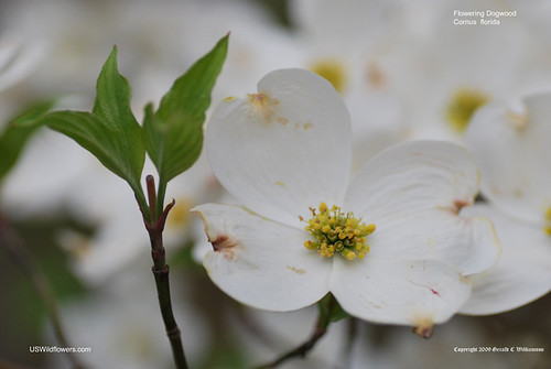 Flowering Dogwood - Cornus florida