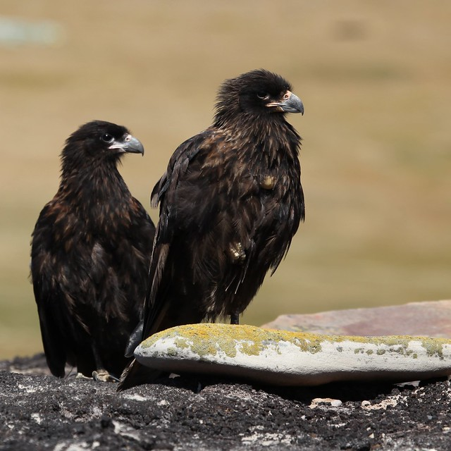 Striated Caracaras on Saunders Island