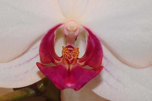 Orchidea dettaglio