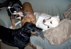 4dogs_Play_33011