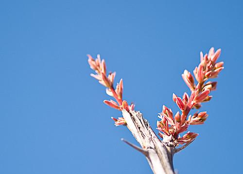 Ocotillo Blossom
