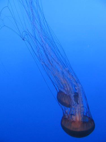 Sea Nettles