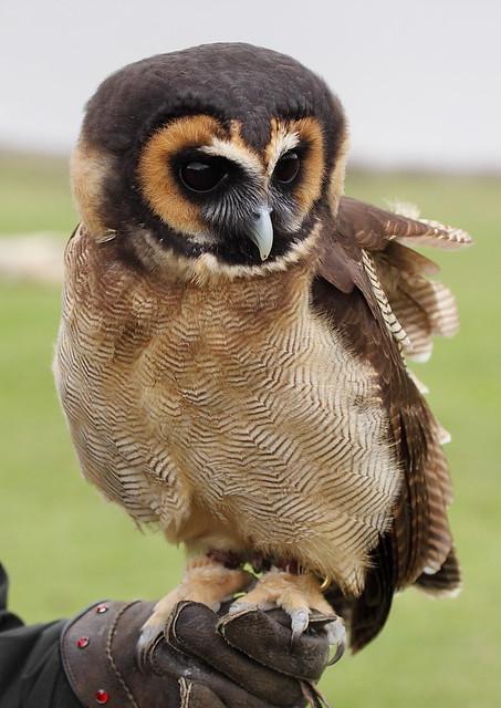 Asian Wood Owl 90