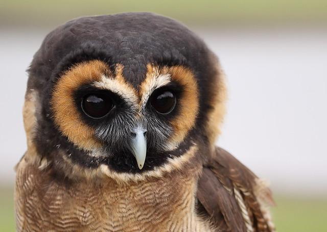 Asian Wood Owl 106