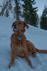 dog breed, labrador retriever, animal, dog, pet, mammal, nova scotia duck tolling retriever,