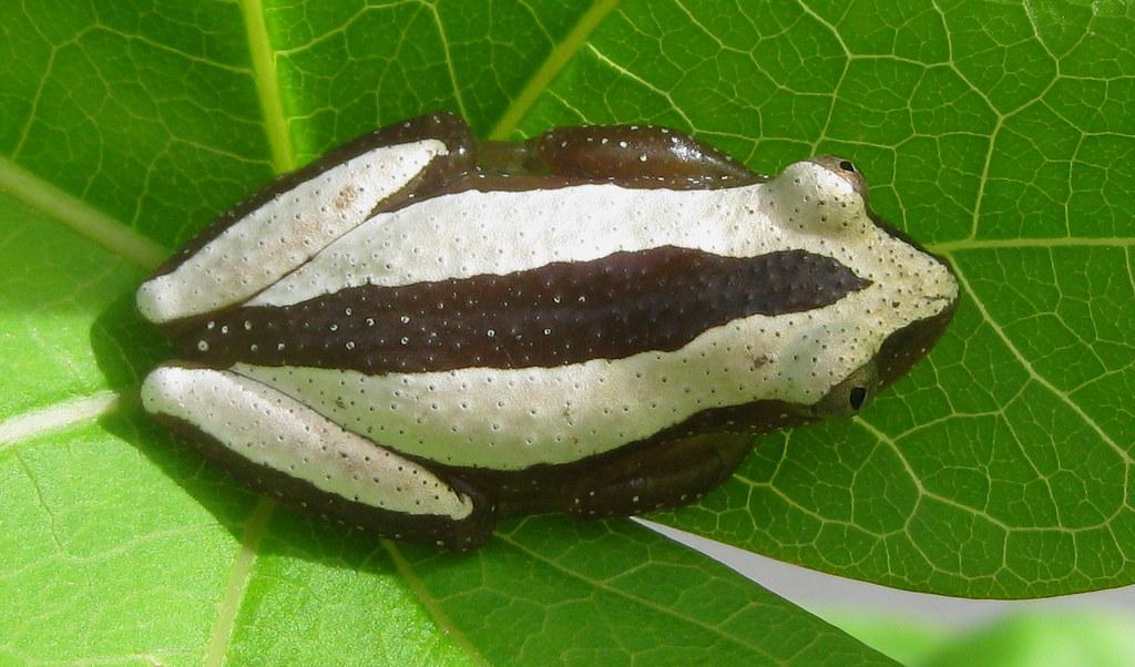 Afrixalus reed frog