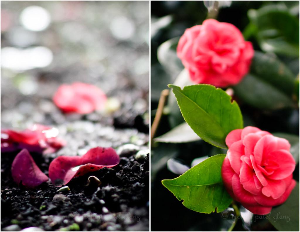backyard camellia - 6