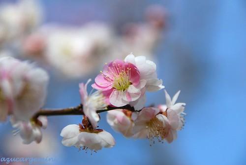 park pink white flower japan nikon bluesky chiba ume d60 flowerscolors awesomeblossoms aobanomorikōen