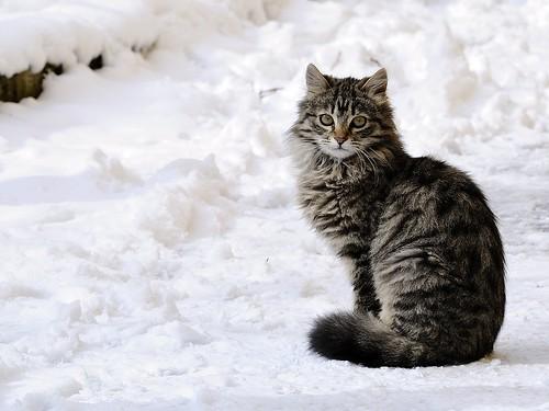 Gatto Delle Nevi Animale Gatto Delle Nevi Snowcat