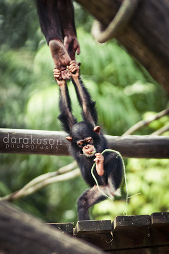 Singapore Zoo - Chimpanzee