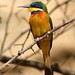 Blue-breasted Bee-eater (Julia Casson)