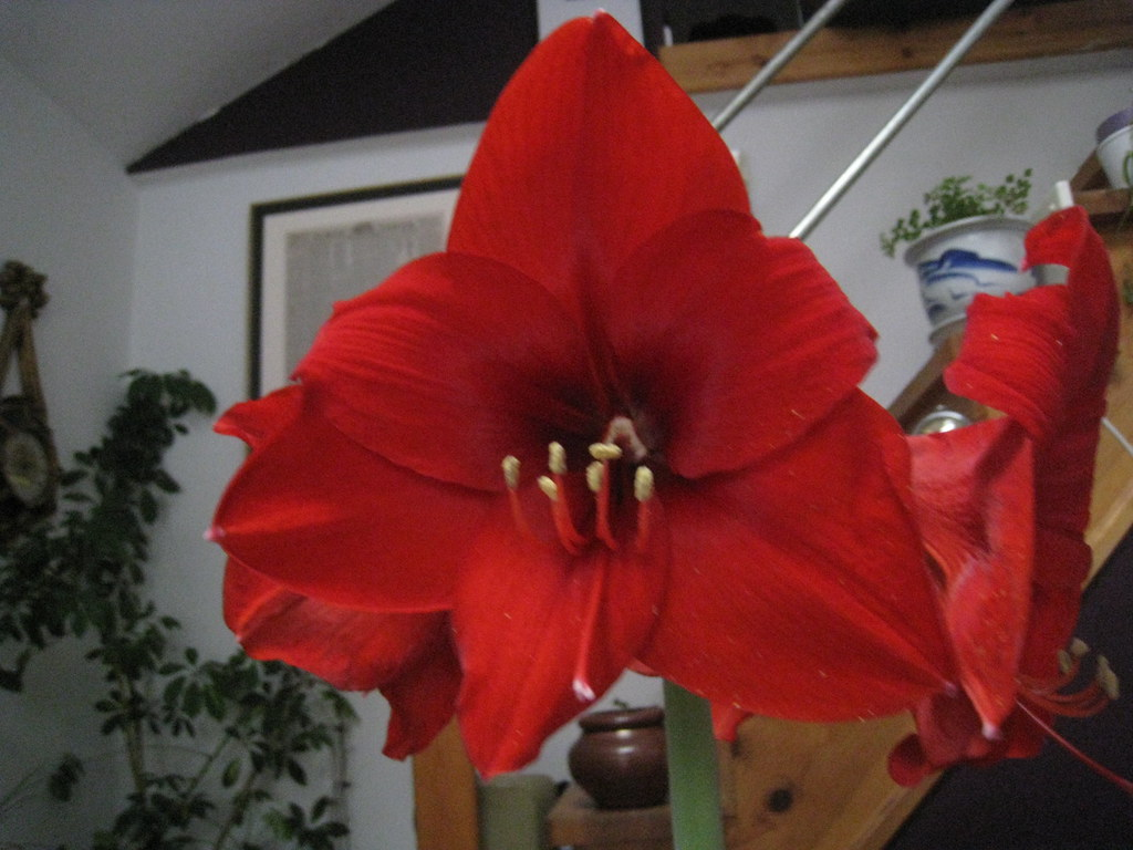 amaryllis march 2011