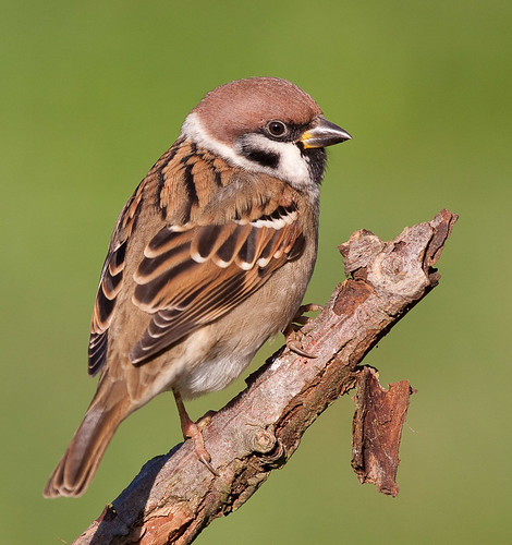 Tree Sparrow by Johannes D. Mayer