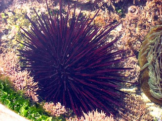 Tide Pool Sea Urchin (0)