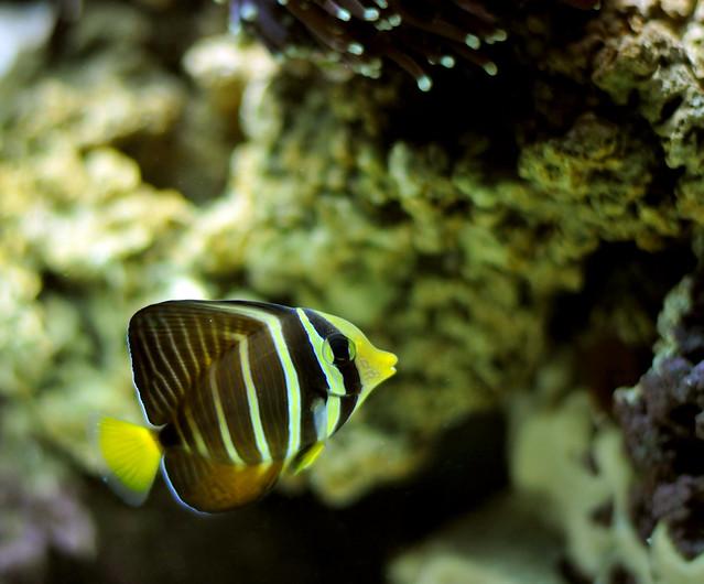 Yellow black striped fish in salt water tank sail fin for Yellow fish tank water