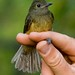 Ochre-bellied Flycatcher - Photo (c) Carol Foil, some rights reserved (CC BY-NC-ND)