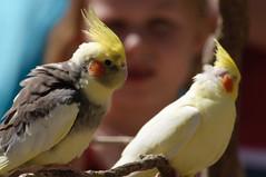 cockatoo, animal, parrot, yellow, wing, pet, fauna, cockatiel, beak, bird,